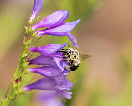 Carpenter Bee on Rocky Mountain Penstemon by Lois Lake
