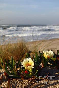 James Brunker - Carpobrotus Flowers in Sand Dunes Portugal
