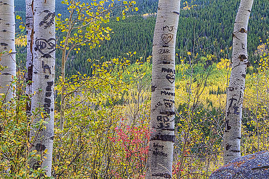 James BO  Insogna - Carved Names and Initials in Autumn Aspen Trees