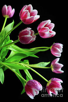 Cascading Tulips by Tracy Hall