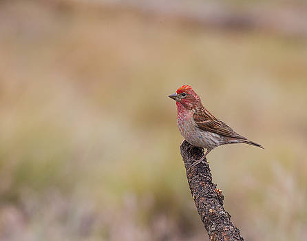Cassins Finch  by Doug Lloyd