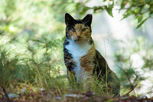 Cat - Figaro by Black Brook Photography