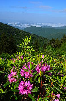 Catawba Rhododendron The Blue Ridge Parkway by Michael Weeks