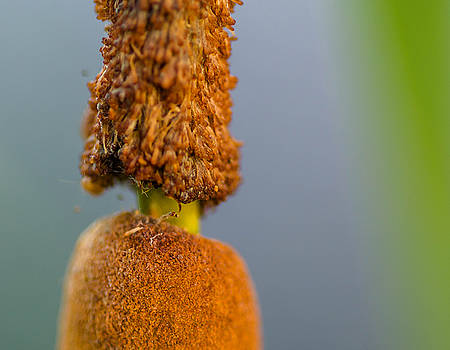 Cattail by Don L Williams