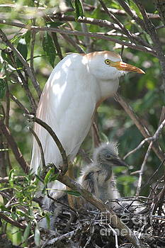 Cattle Egret and Baby by Ken Keener