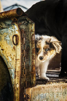 Cattle Pup 2 by Danny Nestor