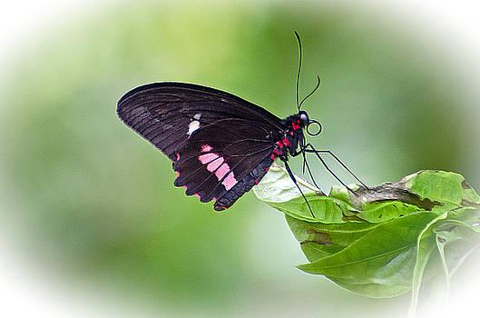 Cattleheart Butterfly by Cheryl Cencich