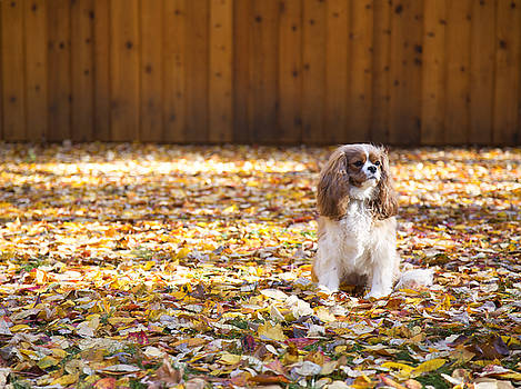 Cavalier King Charles Autumn by Daphne Sampson