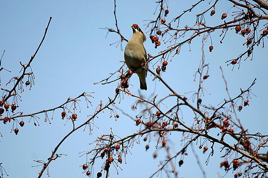 Cedar Wax Wing by Gerald Salamone
