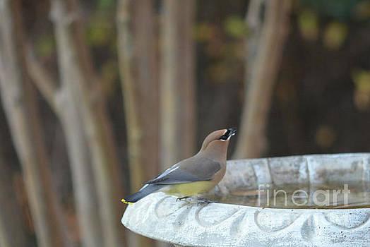 Cedar Waxwing On Bird Bath by Ruth Housley