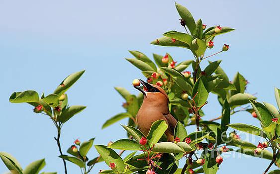 Cedar Waxwing with Berries by Debbie Parker