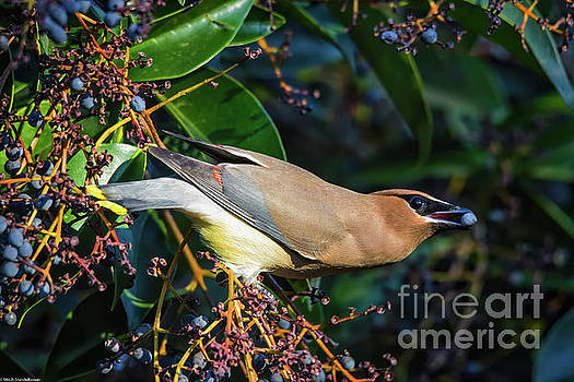 Cedar Waxwing With Berry by Mitch Shindelbower