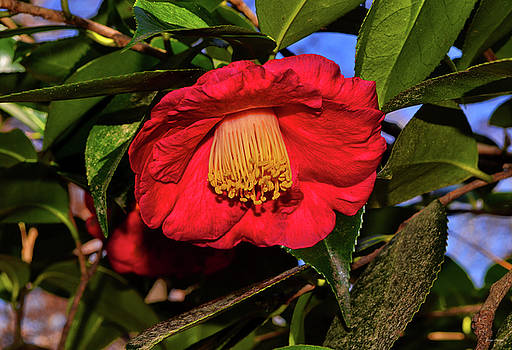 Centerpiece - Red Camellia 003 by George Bostian