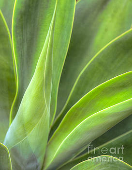 David Zanzinger - Century Plant Succulent