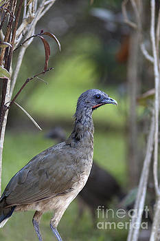 Chachalaca Bird Closeup by Brandon Alms