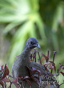 Chachalaca Bird in a Tree by Brandon Alms