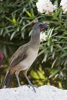 Chachalaca Bird Perched on a Rock by Brandon Alms