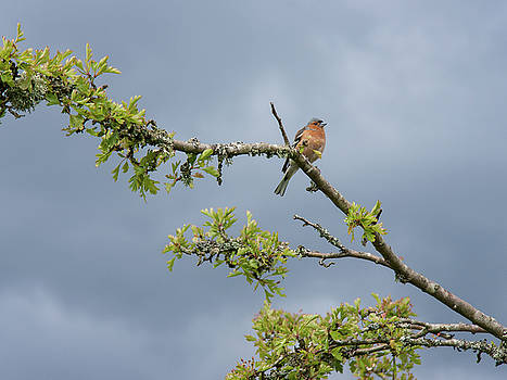 Chaffinch before the Rain by Kathryn Bell