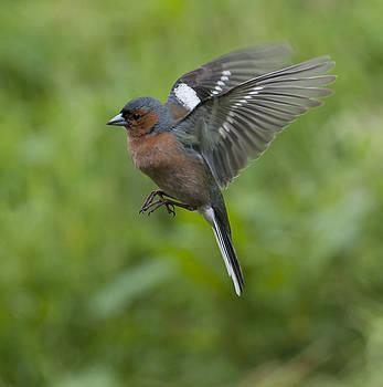Chaffinch in Flight by Sue Fulton