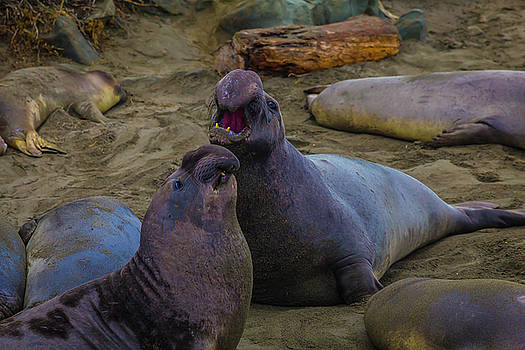 Challenging Elephant Seals by Garry Gay