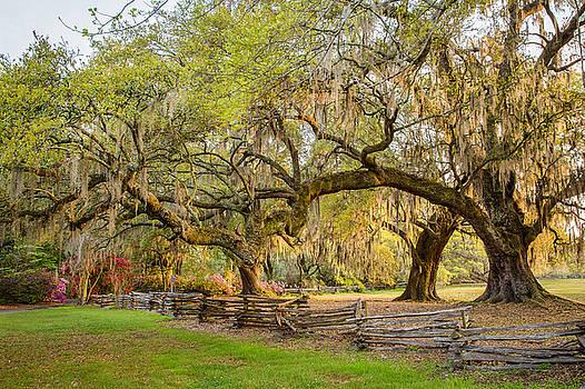 Charleston South Carolina Live Oaks alongSplit Rail Fence Magnolia Plantation by Bill Swindaman