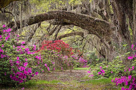 Charleston South Carolina - Spanish Moss Live Oaks and Azaleas - Magnolia Plantation by Bill Swindaman