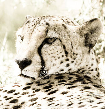 Cheetah at Rest by Anita Oakley
