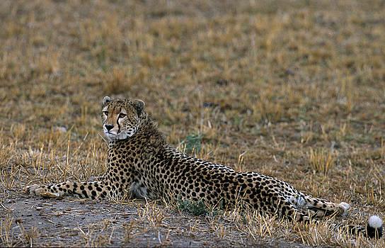 Sandra Bronstein - Cheetah At Rest