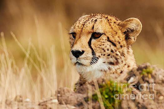 Cheetah behind a mound by Nick Biemans