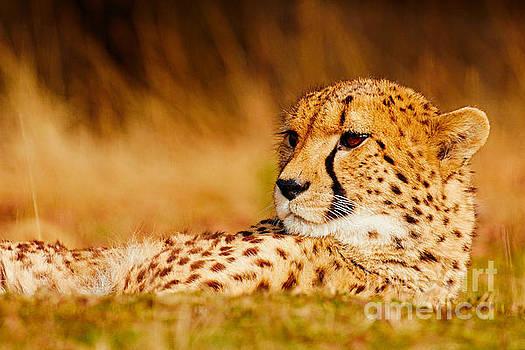 Cheetah in the savanna by Nick Biemans