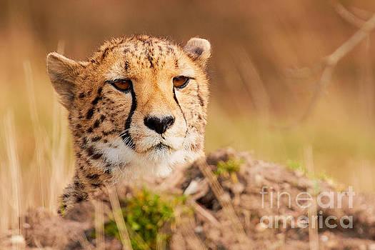 Cheetah lying behind a mound by Nick Biemans