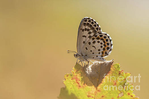 Chequered Blue Butterfly - Scolitantides orion by Jivko Nakev