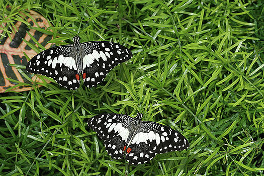 Chequered Swallowtail Butterfly by Judy Whitton
