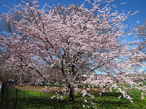 Cherry Blossom by Peter Aiello