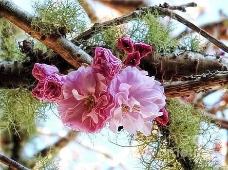 Cherry Blossom Time by Peggy J Hughes