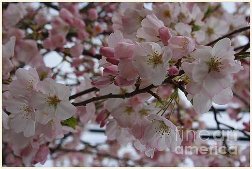 It's  Cherry Blossom Time by Photographic Art and Design by Dora Sofia Caputo