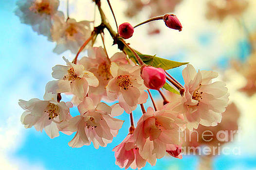 Cherry Blossoms by Beth Ferris Sale