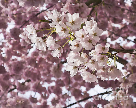 Cherry Blossoms for Spring by Maria Janicki