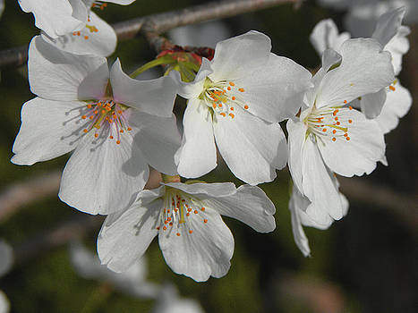 Cherry Blossoms II by Sandi OReilly