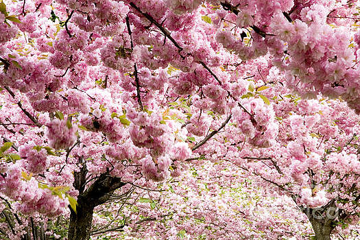 Cherry Blossoms in Milan Italy by Julia Hiebaum