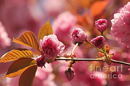 Cherry Blossoms by Judy Palkimas