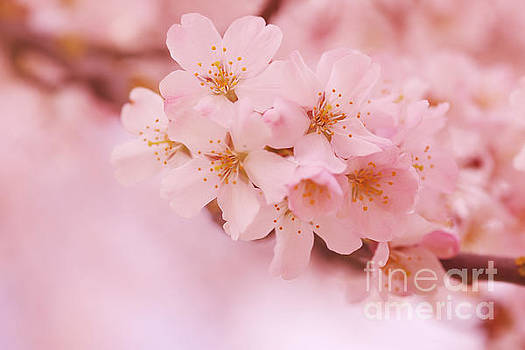LHJB Photography - Cherry Blossoms..