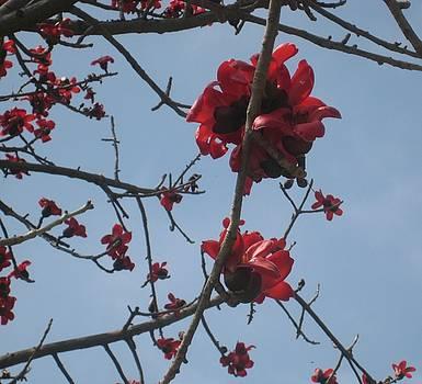 Cherry Blossoms by Melissa McCrann
