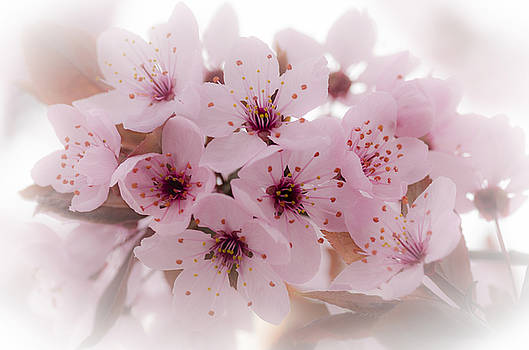 Cherry Blossoms by Rod Sterling