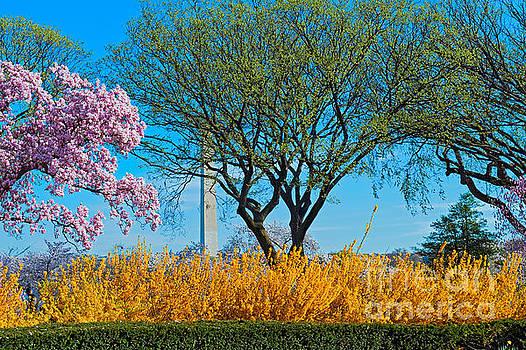David  Zanzinger - Cherry Blossoms Washington Monument