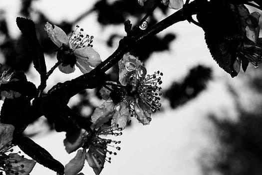 Cherry Ice by Toni Jackson