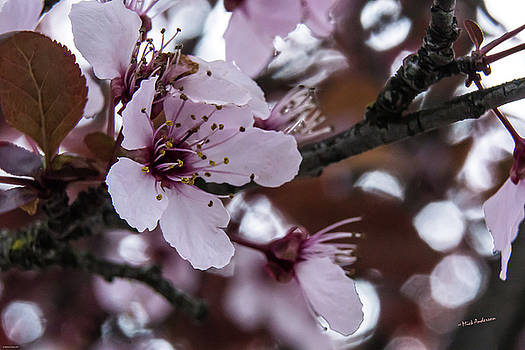Cherry Spring by Mick Anderson