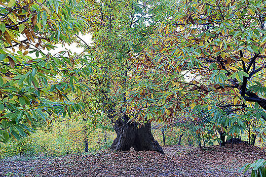Chestnut tree in autumn by Goyo Ambrosio