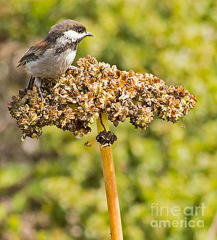 Chestnut backed Chickadee by Natural Focal Point Photography