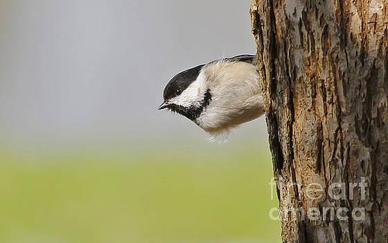 Chickadee by Debbie Parker